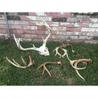 Collection of Antlers- See Description